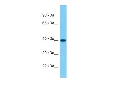 PRAMEF19 antibody