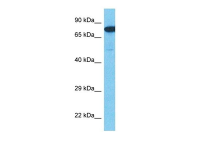 ACM3 antibody