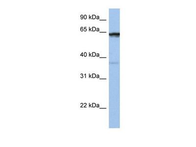 POPDC2 antibody