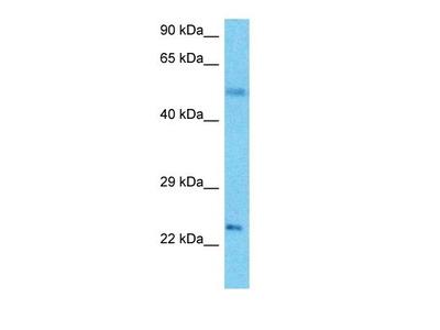 GPAM1 antibody