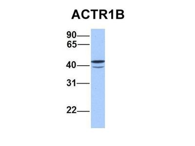 ACTR1B antibody