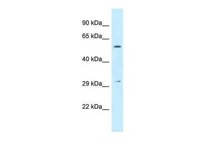 CRISPLD1 antibody