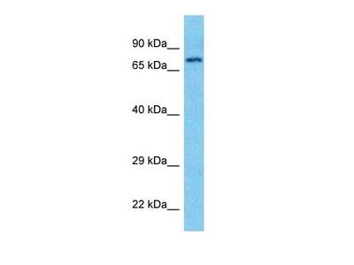 CLCKB antibody