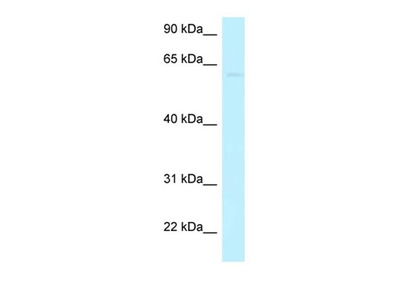 CCDC105 antibody