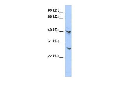 ATP6V0E2 antibody