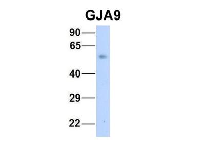 GJA9 antibody