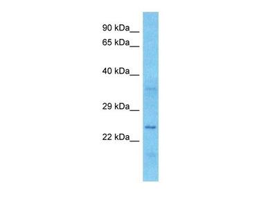 SEN34 antibody