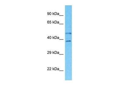 SLC35B2 antibody