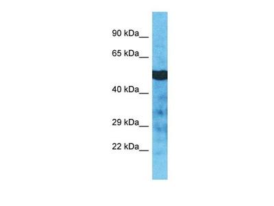 TUBA3D antibody