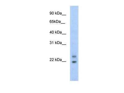 Cphx1 antibody