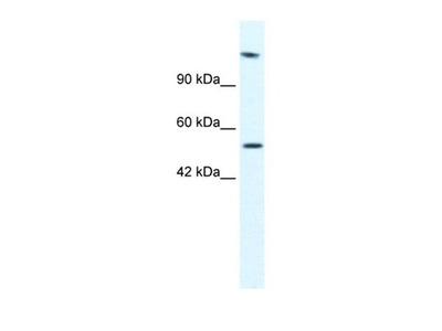 HELB antibody