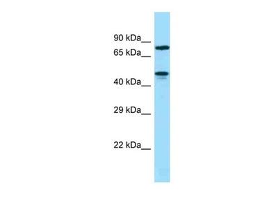 ZNF311 antibody