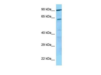 GP5 antibody