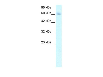 C14ORF169 antibody