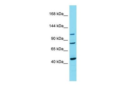 TRPC7 antibody