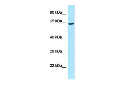 DKFZp686B20267 antibody