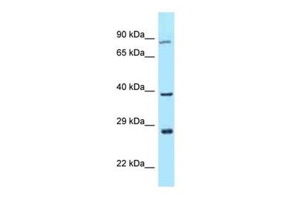 TAF7L antibody
