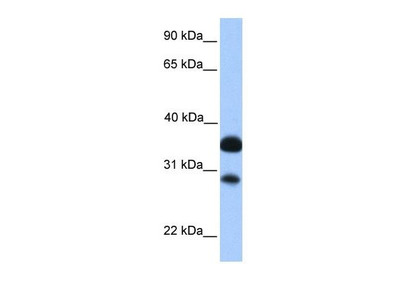 CITED2 antibody