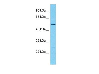 TBC1D3G antibody