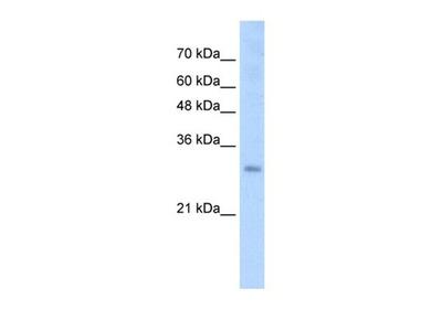 SOX15 antibody