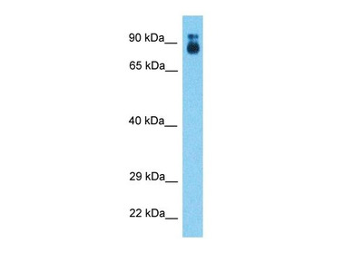 CCSE1 antibody