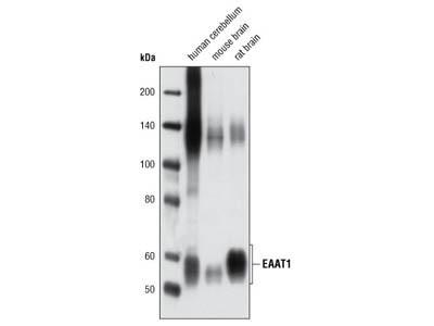 EAAT1 Antibody