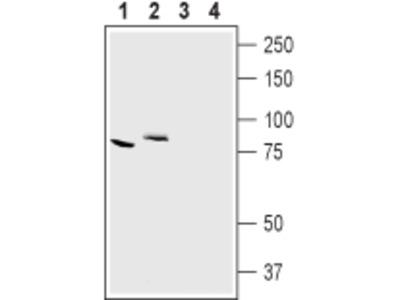 Anti-CLC-7 (CLCN7) Antibody