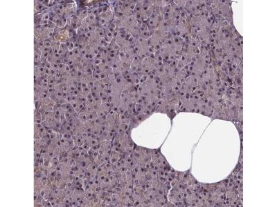 GADD153 / CHOP Antibody