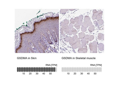 Gasdermin-A Antibody
