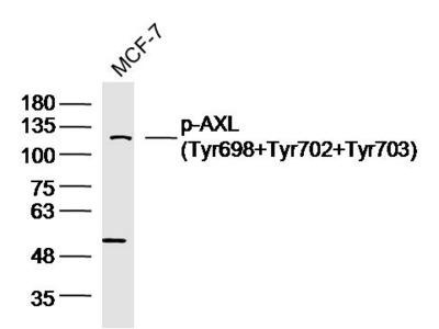 AXL (Tyr698+Tyr702+Tyr703) Antibody, ALEXA FLUOR® 594 Conjugated