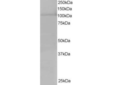 Exportin 7 Antibody