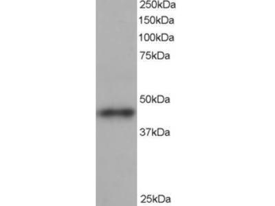 ARP1 Antibody
