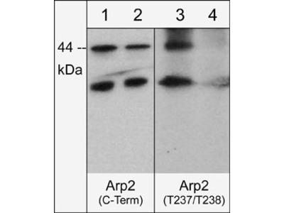 Arp2 (Thr-237/Thr-238), phospho-specific Antibody