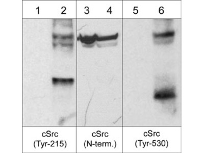 c-Src Phospho-Regulation Antibody Sampler Kit