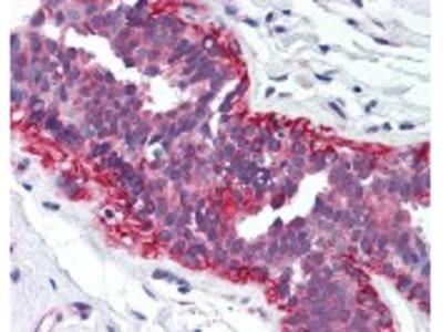CDK4 Antibody