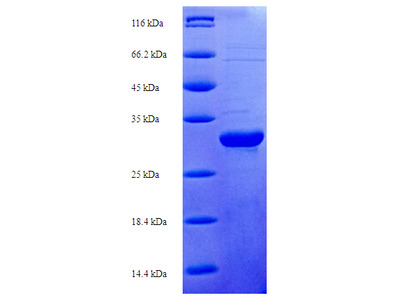 S100A7A / S100A15 Protein