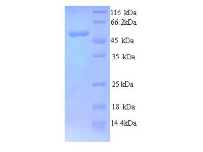MYCN / N-myc Protein