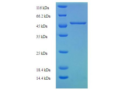 SLC25A30 Protein