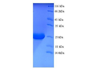 IL1A / IL-1 Alpha Protein