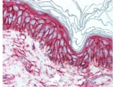 CD9 Antibody [HI9a]