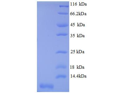 CXCL3 / GRO Gamma Protein