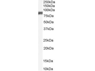 Arachidonate 5-lipoxygenase Antibody