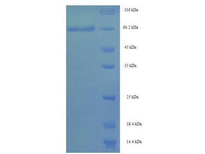 SEPT7 / Septin 7 Protein