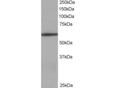 Coronin 1 Antibody