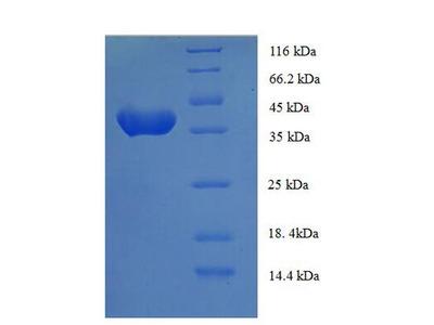 ANAPC15 Protein
