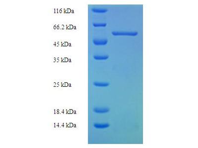 FAM49B / L1 Protein