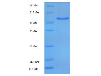 SIRPA / CD172a Protein