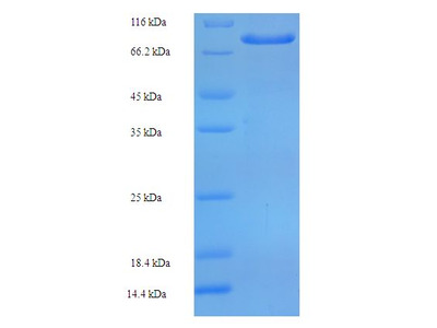 ARSG / Arylsulfatase G Protein