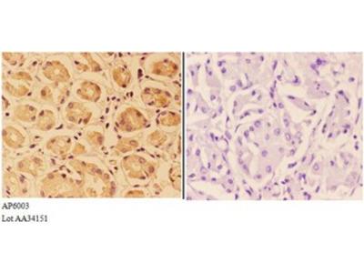 PTPRO Antibody