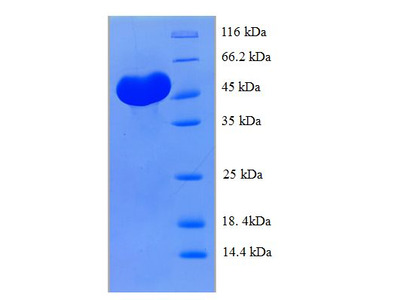 CLEC18A Protein